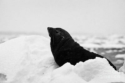 Fournier Photograph - juvenile fur seal floating on iceberg in Fournier Bay Antarctica by Joe Fox