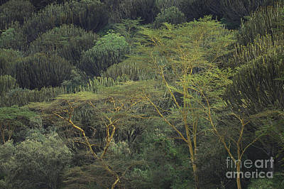 Kenyan Forest Print by Art Wolfe