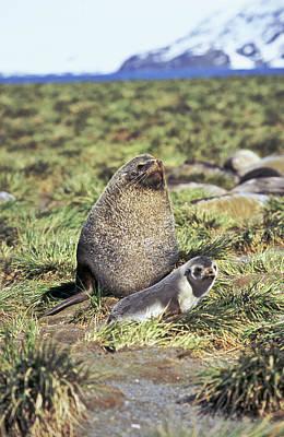 Harem Photograph - Kerguelen Fur Seal, Antarctic Fur Seal by Martin Zwick