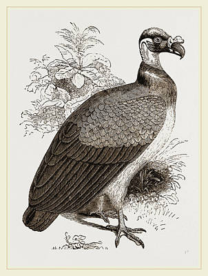 Vulture Drawing - King-vulture by Litz Collection