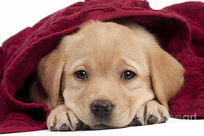 Pet Care Photograph - Labrador Puppy In Towel by Jean-Michel Labat