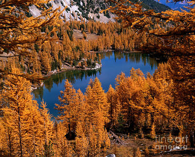 Larch Trees Around Cooney Lake Print by Tracy Knauer