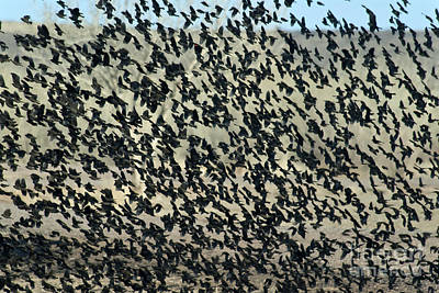 Large Flock Of Blackbirds And Cowbirds Print by Mark Newman