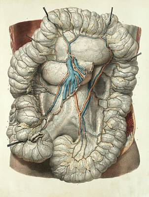1839 Photograph - Large Intestine by Science Photo Library