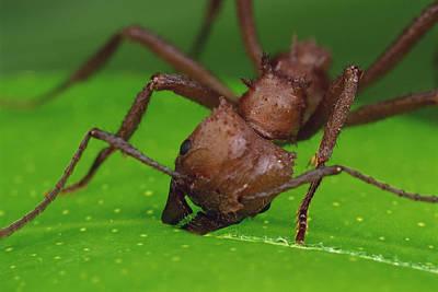 Ant Photograph - Leafcutter Ant Cutting Papaya Leaf by Mark Moffett