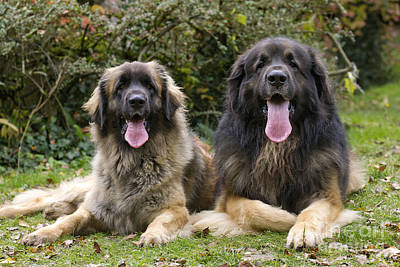 Leonberger Dogs Print by Jean-Michel Labat