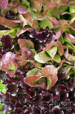 Lettuce Photograph - Lettuce Lactuca Sp by Maria Mosolova