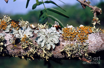 Of Lichen Photograph - Lichens On A Tree by Gregory G. Dimijian, M.D.
