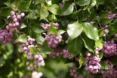 Lilli-pilli Berries Acmena Smithii Print by Bob Gibbons