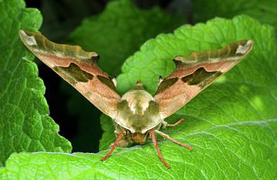 Lime Hawk-moth Print by Nigel Downer