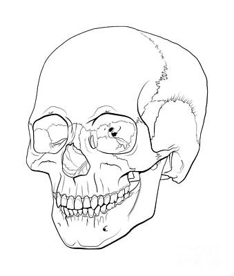 Line Illustration Of A Human Skull Print by Nicholas Mayeux