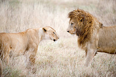 Leo Photograph - Lion And A Lioness Panthera Leo by Panoramic Images