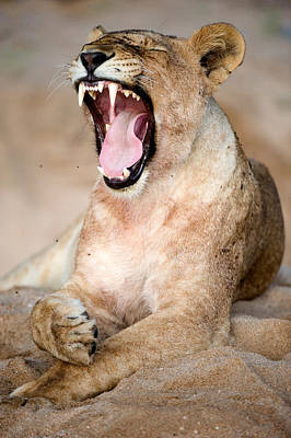 Lioness Panthera Leo Yawning Print by Panoramic Images