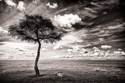 Lions In The Shade - Selenium Toned Print by Mike Gaudaur