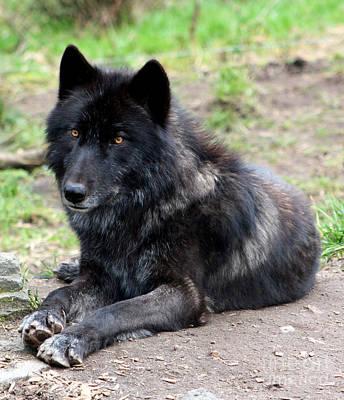Black. Timber Wolf Photograph - Lone Wolf by Nick Gustafson