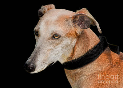Lurcher Print by Linsey Williams