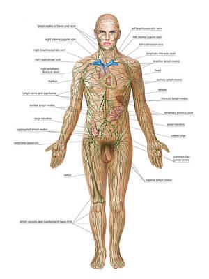 Lymphoid System Print by Asklepios Medical Atlas
