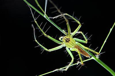 Lynxes Photograph - Lynx Spider by Melvyn Yeo