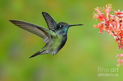 Magnificent Hummingbird - Eugenes Fulgens Photograph - Magnificent Hummingbird by Anthony Mercieca