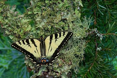 Male Canadian Tiger Swallowtail Print by Darrell Gulin