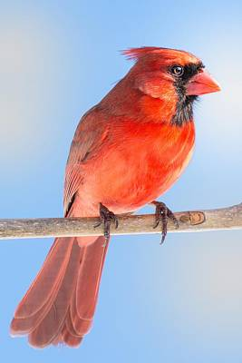 Male Northern Cardinal Photograph - Male Cardinal by Jim Hughes