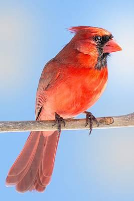 Northern Cardinal Photograph - Male Cardinal by Jim Hughes