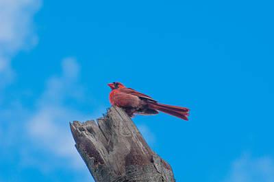 Cardinals Photograph - Male Cardinal by Kathy Schreiber-Castrataro