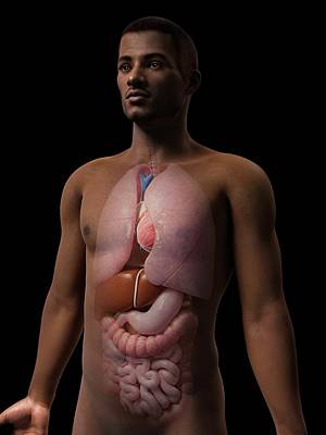 Human Internal Organ Photograph - Male Internal Organs by Sebastian Kaulitzki