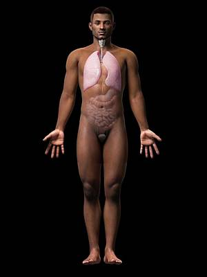 Airways Photograph - Male Lungs by Sebastian Kaulitzki