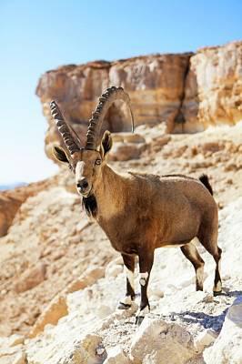 Israeli Photograph - Male Nubian Ibex by Photostock-israel