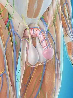 Male Penis Anatomy Print by Sciepro
