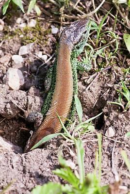 Male Sand Lizard Print by Bob Gibbons