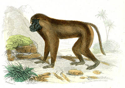 1859 Photograph - Mandrill by Collection Abecasis
