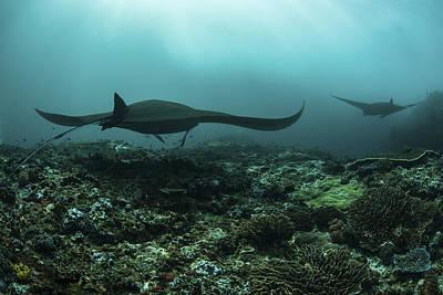 Batoidea Photograph - Manta Rays Swims by Ethan Daniels