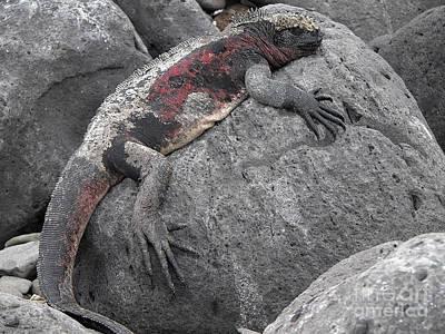 Iguana Photograph - Marine Iguana  Amblyrhynchus Cristatus by Liz Leyden