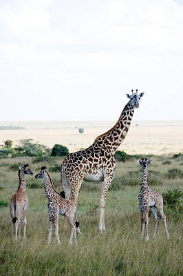 Giraffe Photograph - Masai Giraffes Giraffa Camelopardalis by Panoramic Images