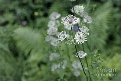 Astrantia Photograph - Masterwort Astrantia Major Flowers by Vaughan Fleming