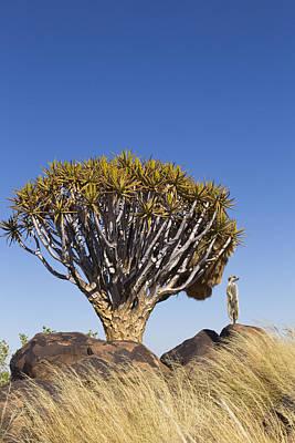 Photograph - Meerkat In Quiver Tree Grassland by Vincent Grafhorst