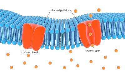 Membrane Channel Proteins Print by Science Photo Library