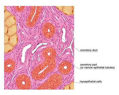 Merocrine Sweat Glands Print by Asklepios Medical Atlas
