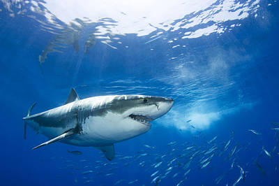 Mexico, Great White Shark Carcharodon Print by Dave Fleetham