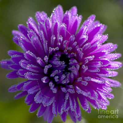 Raindrops On Flowers Photograph - Michaelmas Daisy Drops by Sharon Talson