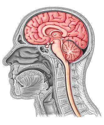 Anatomic Photograph - Midsagittal Brain, Illustration by Evan Oto