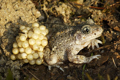 Midwife Toad With Eggs Print by M. Watson