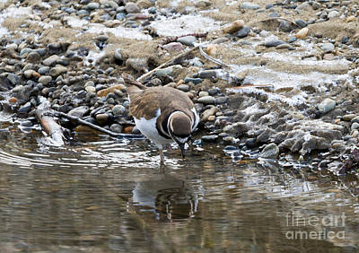 Killdeer Photograph - Mirror Mirror by Mike Dawson