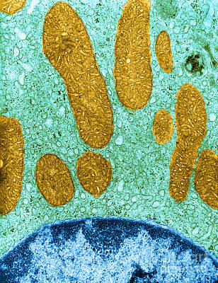 Er Photograph - Mitochondria And Rough Er Tem by David M Phillips