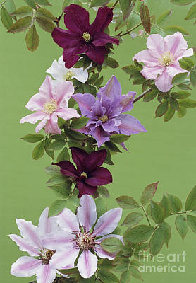 Mixed Clematis Flowers Print by Archie Young
