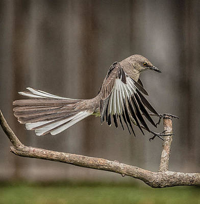 Mockingbird Photograph - Mockingbird  by Rick Barnard