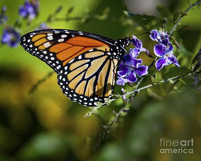 Land Photograph - Monarch Butterfly by David Millenheft