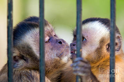 Jail Photograph - Monkey Species Cebus Apella Behind Bars by Michal Bednarek